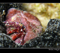 Tiny red hermit crab struggling to free itself from a Sea... by Brian Mayes